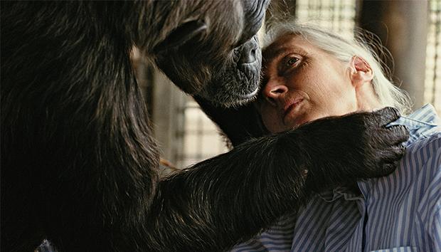 Jane Goodall es pionera de la investigación de la vida de los chimpancés. Foto: Nick Nichols