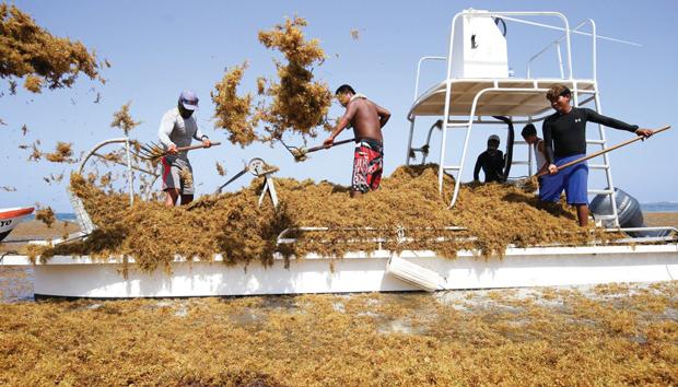 Las playas de Quintana Roo se vieron invadidas por esta fibra vegetal. Foto: Cuartoscuro