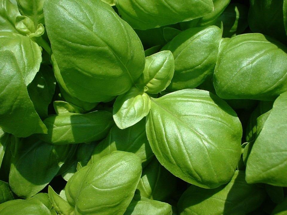 Planta de albahaca. Foto: pixnio.com